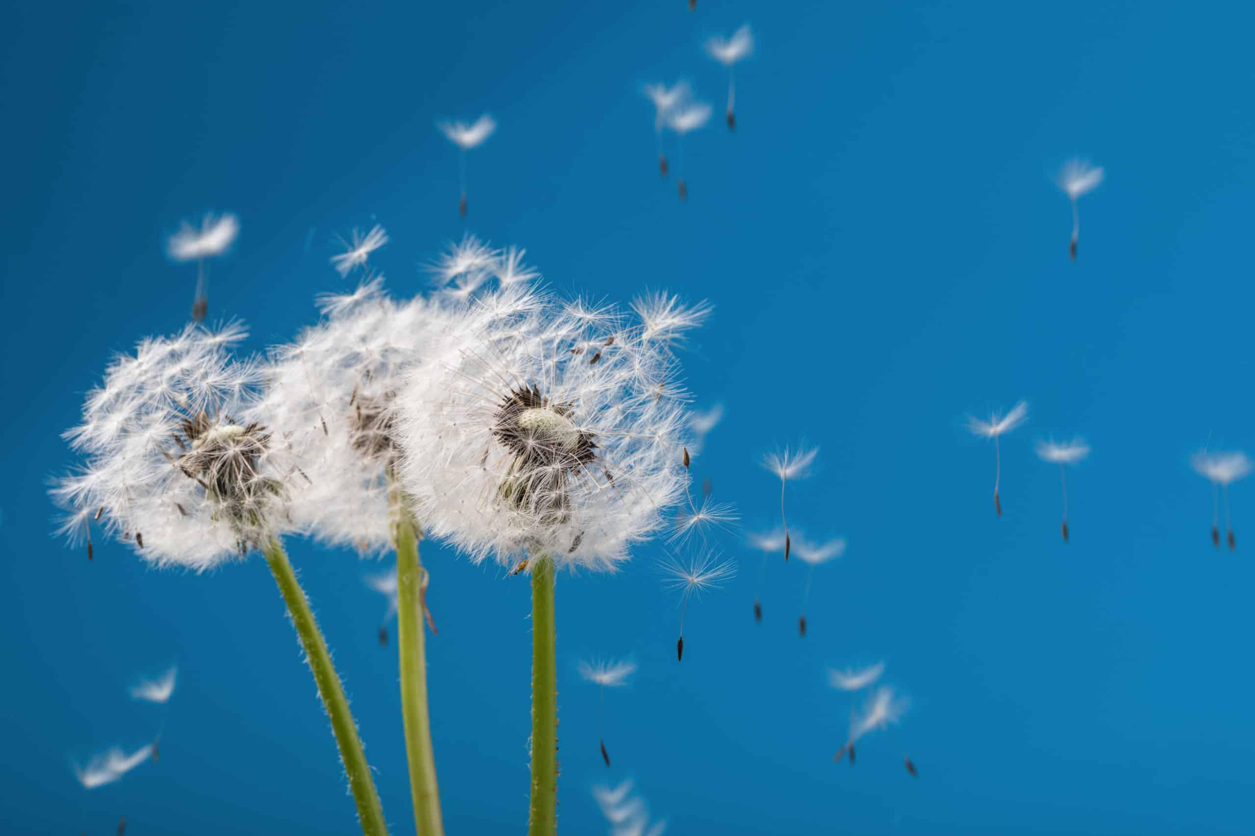Les allergies et autres sensibilités peuvent fatiguer votre organisme, à l'instar de ce pisssenlit au vent